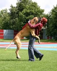 Great Dane jumping on a lady